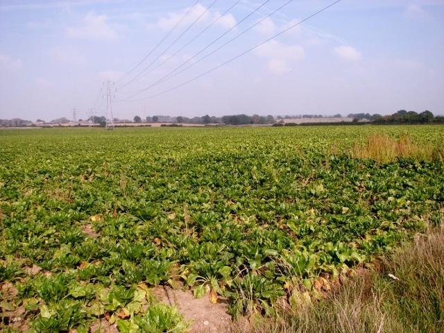 Sugarbeet crop field north of Yarmouth Road