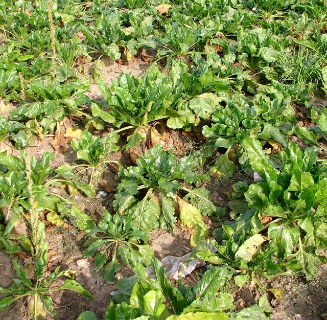 Sugar beet  (Beta vulgaris)