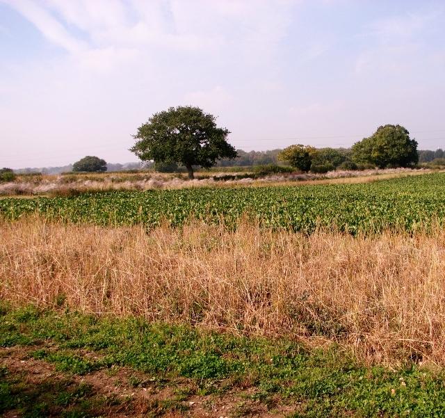 Sugarbeet crop field by Beacon Farm