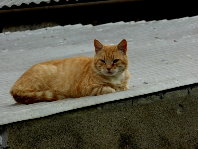 Cat on a (hot) tin roof, Mullagharn (Young)