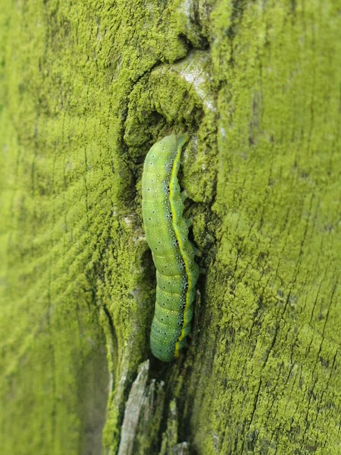 Caterpillar on a post at Lodham's Slack