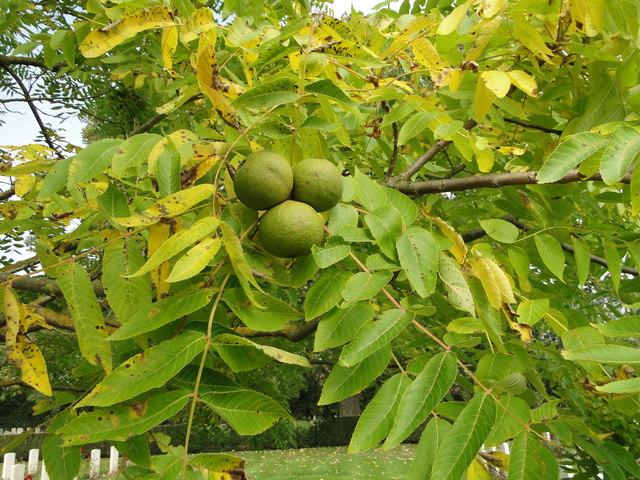 Fruit of the Black Walnut tree