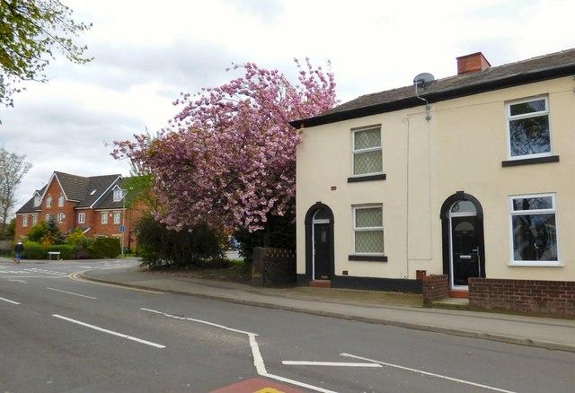 Cherry blossom in Bredbury