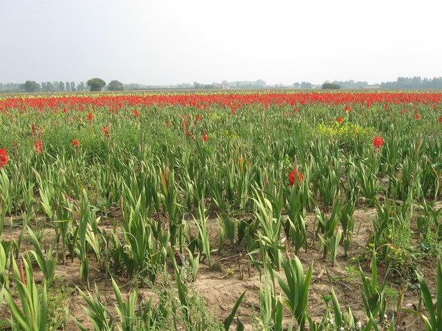 Field of Gladioli