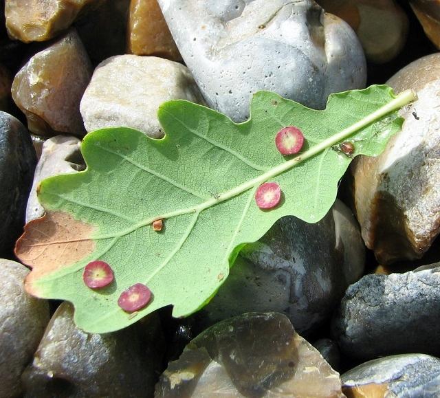 Smooth spangle galls on oak leaf