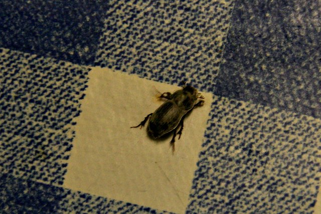 Tiny beetle found in house in Yarburgh