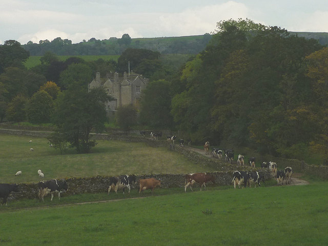Cows heading towards Lawkland Hall