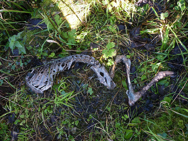 Remains of dead fawn, Warton Crag