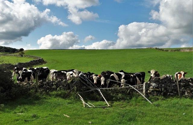 Cattle by Roystone Grange  Lane