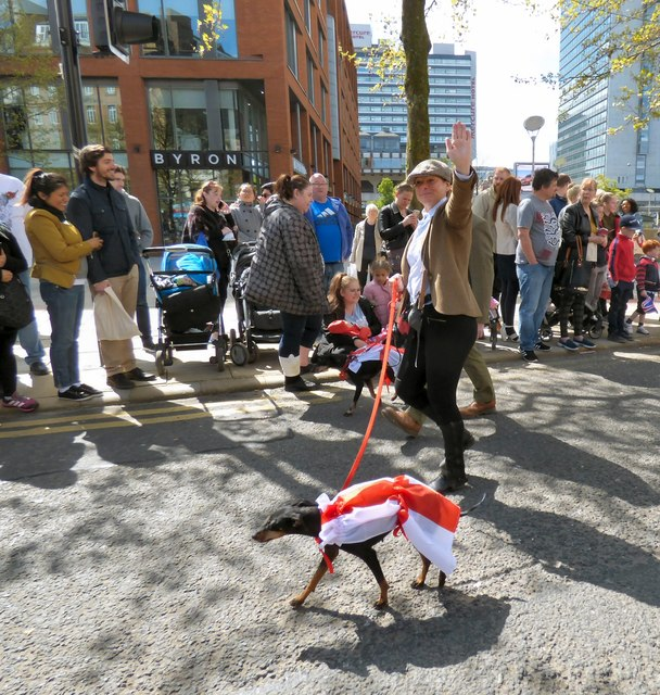 Manchester Terriers on Parade