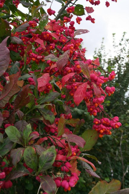 Euonymus europaeus (Spindleberry) by bridleway to Hendale Wood