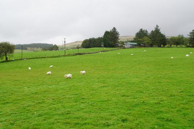 Sheep near Mur-llŵyd
