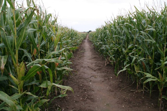 Path through the maize on Barnetby Wold