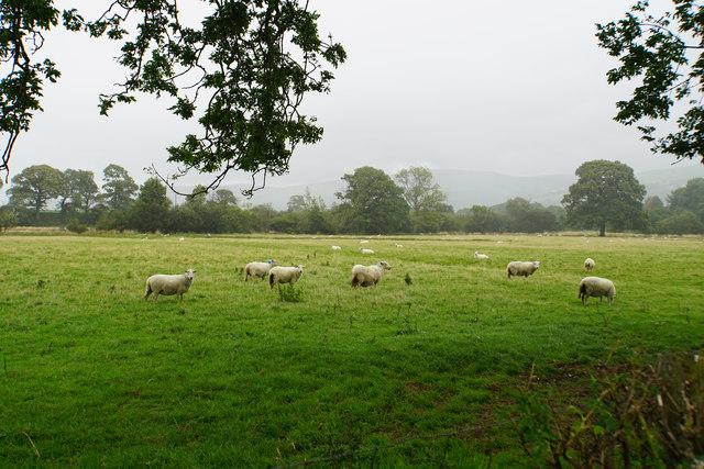 Sheep near Pont Cilan