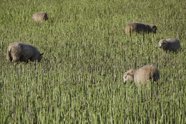 Sheep in a crop at Houlland, Baltasound