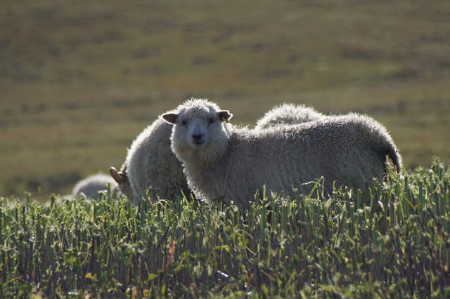 Sheep in a field at Houlland, Baltasound
