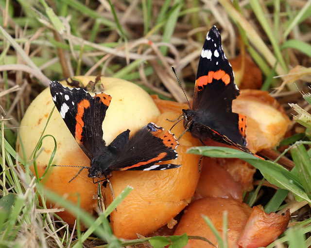 Red Admiral butterflies at Priorwood Garden in Melrose