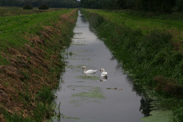 Swans in Soak Drain, Worlaby Carrs