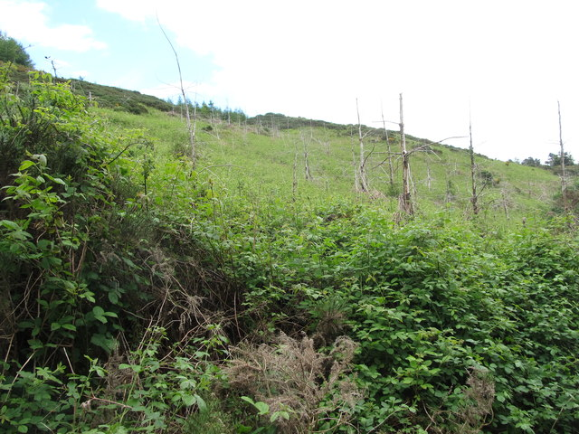 Thick undergrowth in clear fell area within the Annaloughan woodlands