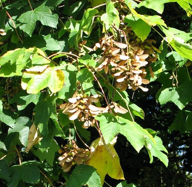 Sycamore (Acer pseudoplatanus) - fruits