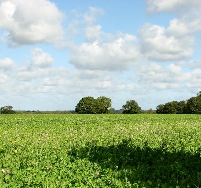 Brassica sp green manure crop north of Bramerton Road