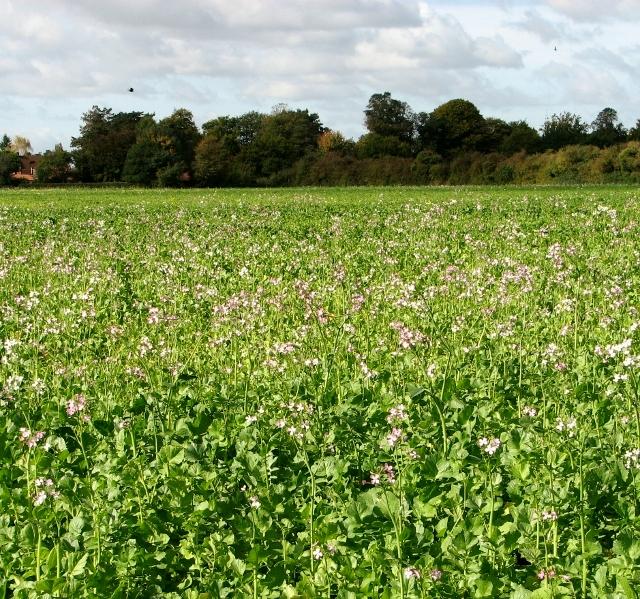 Brassica crop north of Bramerton Road