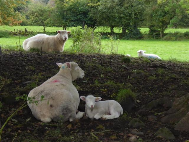 Sheltering sheep, Kirlish