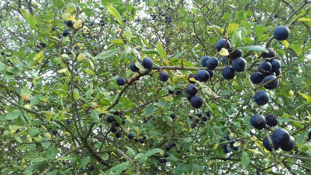 Not sloes: bullace near Middlesykes Lane in Grimoldby