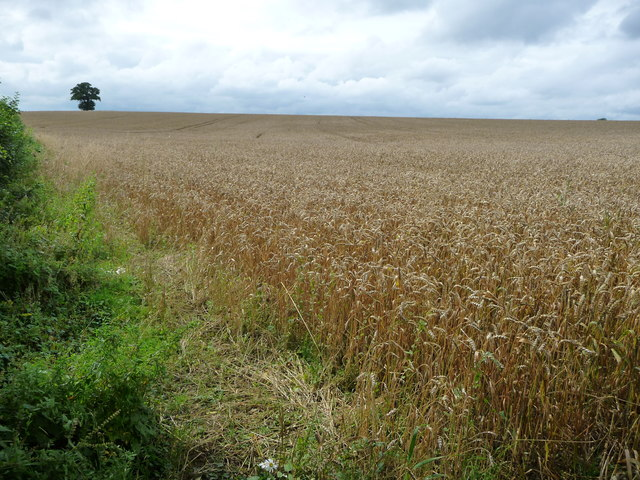 Edge of a field of wheat, alongside the canal