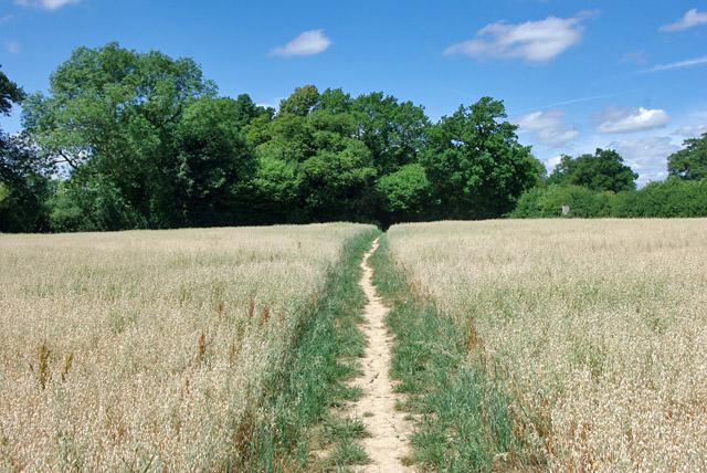 Footpath across a field of oats