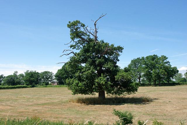 Stag-headed oak