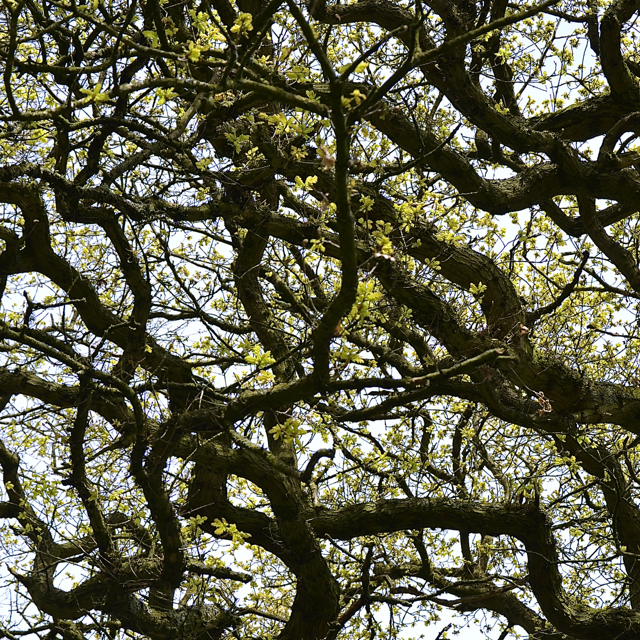 Branches of English Oak, Chadwick Lane, near Chadwick End