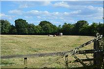SU8596 : A small herd by N Chadwick