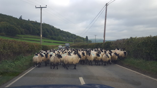Sheep on the Road near Talgarth Manor