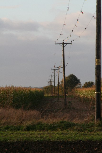 Line of cables and poles through a maize field by Nocton Fen Road
