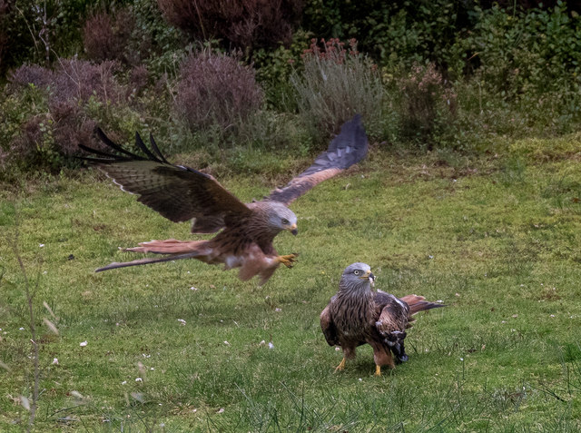 Red Kites at Nantyarian, Wales