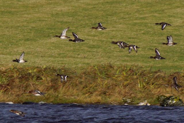Ducks in flight at Easter Loch, Uyeasound