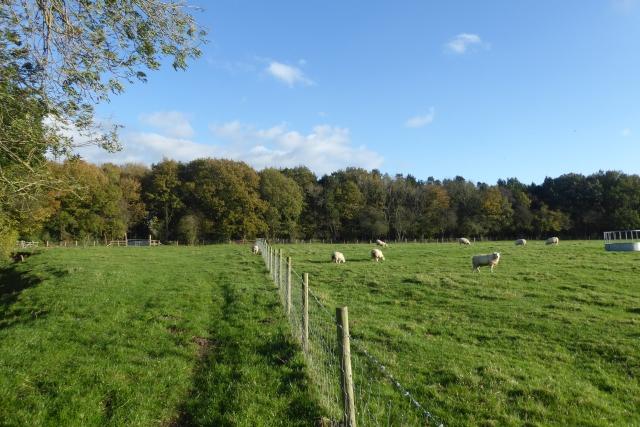 Sheep near Woodlands Farm