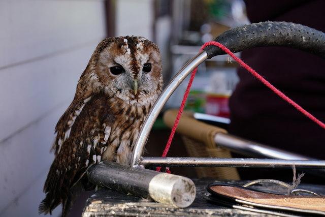 Tawny Owl at Dalegarth