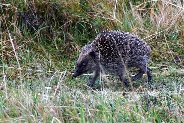 Running Hedgehog (Erinaceus europaeus), Nikkavord Lea, Baltasound