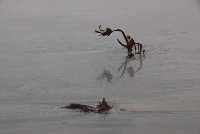 Kelp on Easting beach