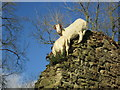 SO4870 : Goats at Richard's Castle by Fabian Musto