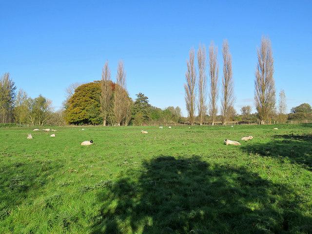 Whittlesford: poplars, sheep and shadows
