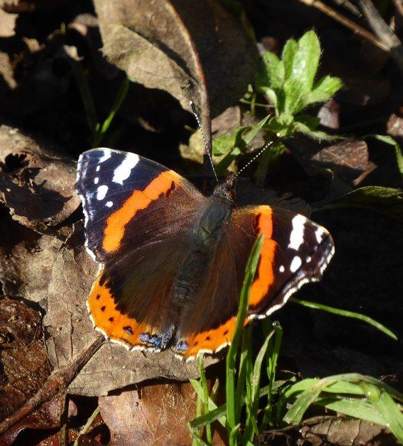 A November Red Admiral