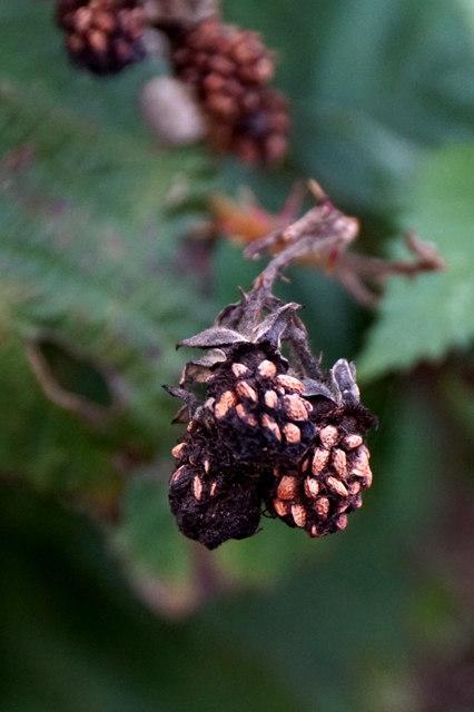 Decaying brambles, Chessington