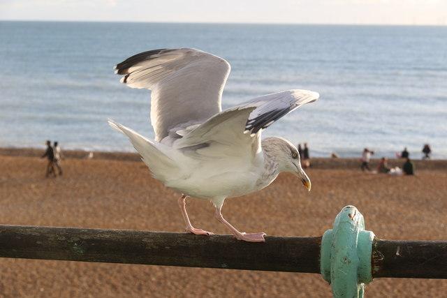 Herring Gull, Brighton,  East Sussex