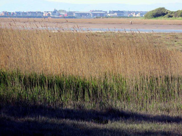 Reed beds by the Wyre Estuary