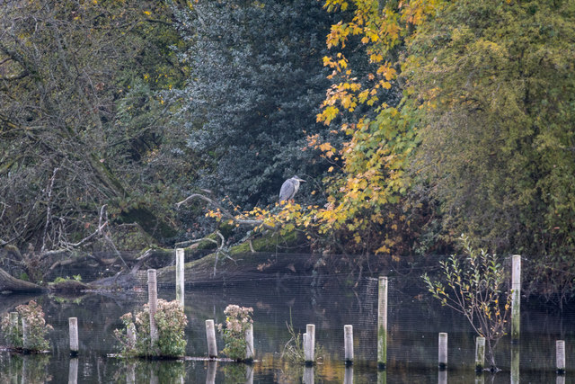 Heron at Reservoir, Tottenham  Marshes