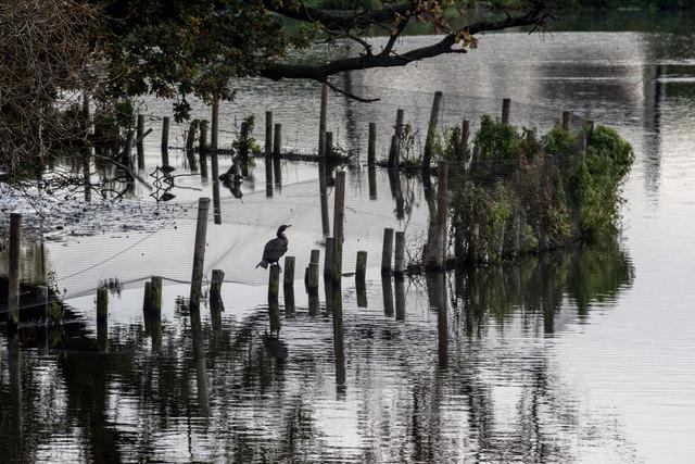Cormorants on Tottenham Marshes