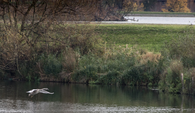 Swan Coming in to land on Reservoir, Tottenham Marshes